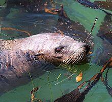 Avila Bay Seal by CarolM