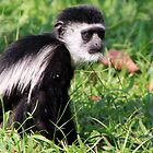 Black and White Colobus by Hannah Nicholas