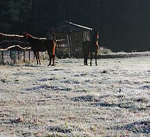 Horses in frosty day by Antanas