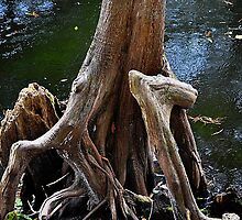 Cypress Tree with Big Knee by joevoz