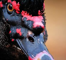 Muscovy black duck by Mauro Rodrigues