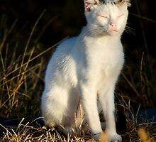 beautiful domestic cat by Mauro Rodrigues