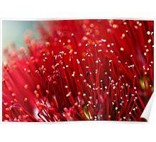 Pohutukawa Flower Poster