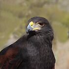 Harris Hawk by Bluecornstudios