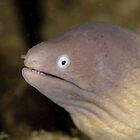 Greyface Moray - Siderea thyrsoidea by Andrew Trevor-Jones