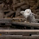 Snowy Owl - Ottawa, ON by Benjamin Brauer