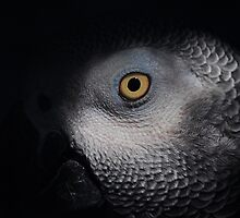 Eye of the Parrot by joevoz