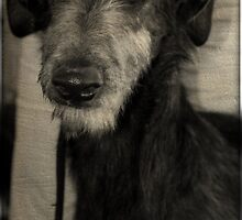 Scottish Deerhound by jodi payne