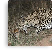 Leopard/duiker interaction 3(Gotcha !) Canvas Print