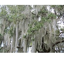 Stunning Spanish Moss Photographic Print