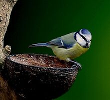 Blue tit  by John Morrison