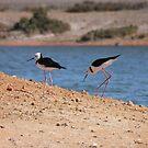 Pied Stilts (Himantopus leucocephalus) - Whyalla, South Australia by Dan & Emma Monceaux