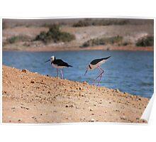 Pied Stilts (Himantopus leucocephalus) - Whyalla, South Australia Poster