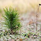Young pine in autumn by Antanas