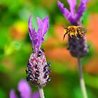 Bee and lavender by Steve James