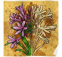 Agapanthus (floral) Poster