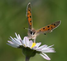 Butterfly on daisy by Rachele Totaro