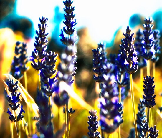 lavender gold by Maree Cardinale