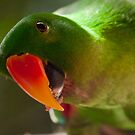 Eclectus Boy by Hedoff