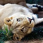 A Lioness Contemplates Her Next Meal by Ray Chiarello