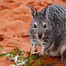 """Banded Hare-Wallaby""  Shark Bay, Western Australia by wildimagenation"
