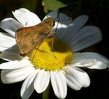 Shasta Daisy 2 by saripin