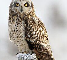 Short eared owl . BirdMad . Canon . Dean Eades  by Dean   Eades