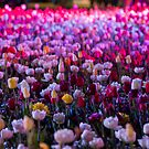 Fields of Tulips - Floriade Nightfest, Canberra Australia. by Joseph O'R.