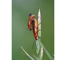 Blood sucker beetles mating. Photographic Print