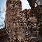 Verreaux's Eagle-Owl by Rashid Latiff