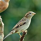 female Chaffinch by Russell Couch