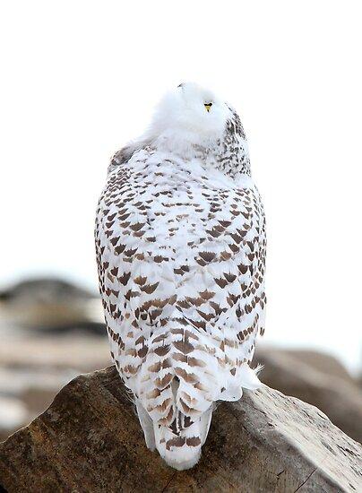 Keep Watching the Skies - Snowy Owl by Jim Cumming