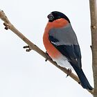 Bullfinch  by M.S. Photography & Art