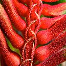 """Kangaroo Paw"" Kalbarri National Park, Western Australia by wildimagenation"