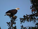 Bald Eagle - Sharp Eye by Deb Fedeler