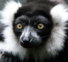 Black And White Ruffed Lemur by Margaret Saheed