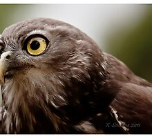 Barking owl 2 by bluetaipan