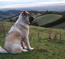 Dog Days Afternoon. Akita admiring the sunset over distant farmlands by CelticHorse