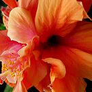 Glorious Orange Hibiscus Flower by ange2