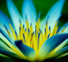 A colourful Blue Lotus of Egypt by Elana Bailey