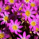 """Pink Wildflowers"" Western Australia by wildimagenation"