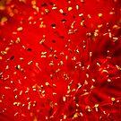 Red Bottlebrush, Adelaide Botanic Gardens by Elana Bailey