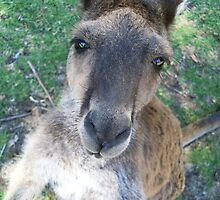Hey there! - Kangaroo Marapana Wildlife Park by gogston