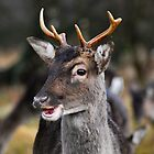 Wild Buck on Cannock Chase by Jennie Anderson