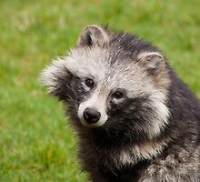 Raccoon Dog by Tony Walton