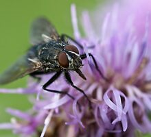 Calliphoridae, Blow-fly on thistle by Gert Lavsen