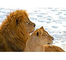 Lions in the Snow Photographic Print