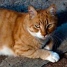 The Orange Cat by sedge808