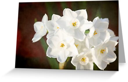 Snow White Daffodils by KBritt