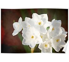 Snow White Daffodils Poster